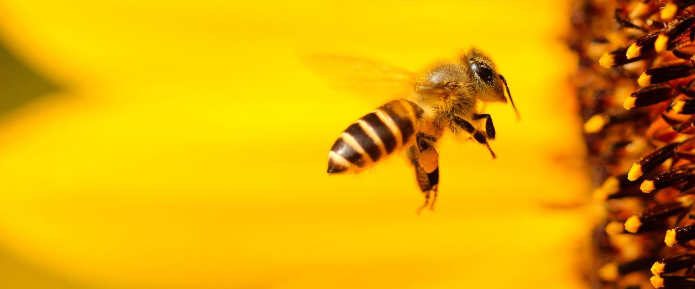 Les abeilles bientôt remplacées par des machines de pollinisation